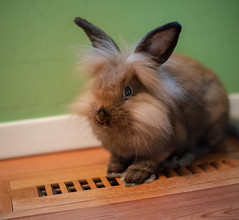 Louie the Lionhead Rabbit (CMFRIESE) Tags: lionheadrabbit rabbit louiethelionheadrabbit animal chill lowlight ambient