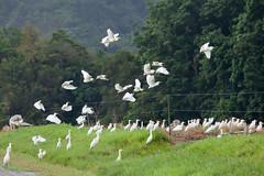 Cattle Egret (Ardea ibis) (Ian Colley Photography) Tags: daintree queensland cattleegret ardeaibis canoneos5dmarkii ef100400mmf4556lisiiusm bird