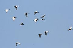 Ibis (iansand) Tags: bird homebushbay ibis flyingbird