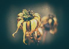 Au Changement de Saison (Katrina Wright) Tags: dsc1807edit flowers petals dried decay dying summer shallowdof yellow hsssliderssunday