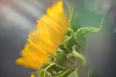 The Sun Flower... (KissThePixel) Tags: flower flowers sunflower sunshine sun sunlight light sunbeam rays sunrays bokeh september autumn nikon nikondf nikkor f12 12 bokehlicious bokehwednesday macro closeup