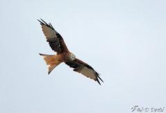 Milan Royal 03 (Jean-Daniel David) Tags: oiseau milan milanroyal envol rapace ciel closeup nature vol yverdonlesbains suisse suisseromande vaud