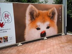 welcome to Akita (Yorkey&Rin) Tags: 2018 advertising akitainu em5markii japan lumixg20f17 olympus p9010005 rin september shinagawa signboard tokyo 看板 秋田犬 東京都 品川