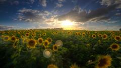 Rain Rain Go Away (KC Mike Day) Tags: sunflower farm kansas