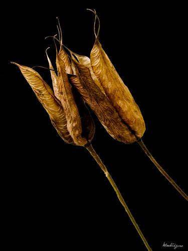 Columbine seed pods - Têtes de semences de l'ancolie