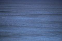 IMG_3561 (gervo1865_2 - LJ Gervasoni) Tags: surfing with whales lady bay warrnambool victoria 2017 ocean sea water waves coast coastal marine wildlife sealife blue photographerljgervasoni