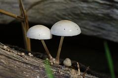De porseleinzwam (Oudemansiella mucida, synoniem: Collybia mucida) (eric zijn fotoos) Tags: macro makro sonyrx10m3 holland noordholland nederland autumn herfst natuur nature bos woods hout wood paddestoel zwam mushroom