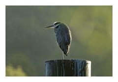 Seul au monde... (db_copyright photography) Tags: echassier héron oiseau bird billebaude nature seul matin lumière brouillard ngc
