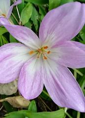 Droplet on petal (daveandlyn1) Tags: flower petals purple droplets raindrops orange orangestamens corolla pralx1 p8lite2017 smartphone cameraphone psdigitalcamera