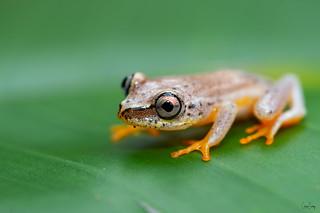 Madgascar reed frog
