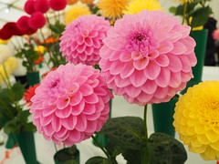 Dahlia's on Show. (Flyingpast) Tags: dahlia flower show flora dundee scotlamd colour pretty petals colourful pink macro