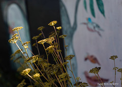 Fleurs fanées (patoche21) Tags: bourgogne bourgognefranchecomte cotedor chevignystsauveur europe fleur flore france nature plante jardin lumière ombrelumière proxy patrickbouchenard burgundy flower garden light