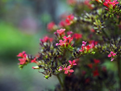 Kalanchoe (AdrianoSetimo) Tags: flordafortuna flor flower flora flores suculenta bokeh bokehlicious 45mm olympus em5mkii mft microfourthirds m43 red vermelho garden jardim