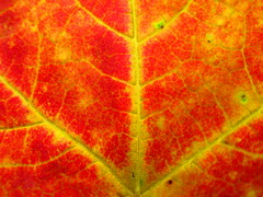 IMG_0470 9-18-2018 (PGK88) Tags: macro leaf fall autumn color texture red yellow orange background nature closeup colorful 2018 365 pgk88