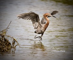 Beautiful Reddish Egret. (Albatross Imagery) Tags: gorgeous nikkor birdphotography waterbirds wingspan wings feathers floridawildlifephotography floridawildlife photographer photo photography flickrwildlife flickr instagram usa tigertailbeach marcoisland beautiful nikonwildlife nikonphotography nikon naturephotography nature wildanimals wildbirds wildlife bird birds egret reddishegret