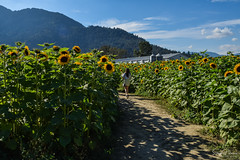 Chilliwack Sunflower Festival (2018) (SonjaPetersonPh♡tography) Tags: chilliwack fraservalley bc britishcolumbia festival nikon nikond5300 sunflower sunflowers flowers gardens visitors landscape macro canada fields sky mammothsunflowers yellowsunflowers nikonmacro macroflowers summer 2018 chilliwacksunflowerfestival