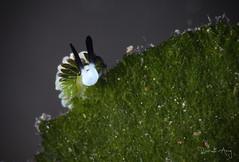 P E E K - A - B O O (Randi Ang) Tags: costasiella costasiellausagi nudi nudibranch seaslug tulamben bali indonesia underwater scuba diving dive photography macro randi ang canon eos 6d 100mm randiang kenko teleconverter