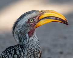 Southern yellow-billed hornbill (Andy Morffew) Tags: southernyellowbilledhornbill southafrica andymorffew morffew inexplore explored