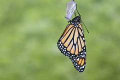 A monarch newly emerged from the chrysalis (Lorie Shaull) Tags: danausplexippus lepidoptera butterfly monarch insect chrysalis butterfliesofnorthamerica butterfliesoftheunitedstates