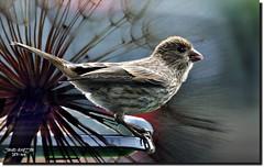 SPARROW CHICK (jawadn_99) Tags: western bluebird cheeks bird species brown fauna explore