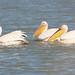 Pelecanus onocrotalus (Great White Pelican)