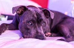 KYRA. (mintonshaun) Tags: stafforshirebullterrier staffy blue staff bluestaffy puppy dog nikon sigma 30mm f14 prime portrait cute pup pitbull lightroom lightroompresets flickr
