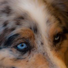 DOG DES MONTAGNES.... (thierrymuller) Tags: 2018 85nikon elpadrepicture thierrymuller voyage d60 laféclaz art animal animals photo photographie frenchtouch mamanano nikonpassion nikon dog chien bleu regard