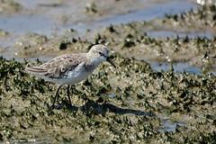Menut (Enllasez - Enric LLaó) Tags: aves aus bird ocells pájaros limícolas limicoles correlimos deltadelebre deltadelebro delta 2018