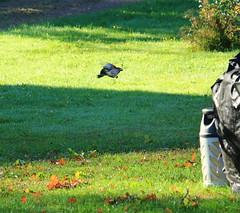 Jay_2018_09_16_0026 (FarmerJohnn) Tags: jay närhi coйка bird lintu птица tammi oak oaktree дуб syksy autumn осенью syyskuu september сентябрь ruska colors autumncolors цветаосени terho tammenterho acorn желудь wildbird nature luonto природа lehdet leaves leaf листьядерева лист canon eos 5d markiii canoneos5dmarkiii ef7020040lisusm finland suomi финляндия laukaa valkola anttospohja juhanianttonen