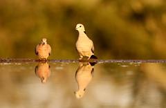 Reflections of You (E-4A7A-8761) (Mark Abel) Tags: africa southafrica kwazulunatal zimanga nkombe birds