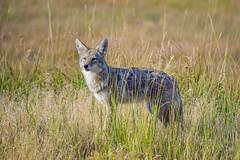 Wile E. (Tom Fenske Photography) Tags: coyote wildlife predator