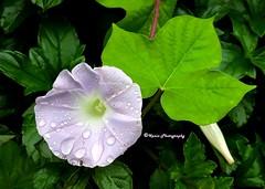 Ivy-leaved Morning Glory (kanizfatema222) Tags: morning glory morningglory purple