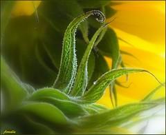 Curves... (Armelle85) Tags: extérieur nature plante feuilles lignes graphisme courbes macro