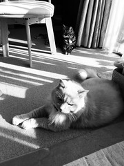 Cats in the Sun (sjrankin) Tags: 23september2018 edited hokkaido japan animal cat norio kitahiroshima sun sunlight sunbeam floor carpet carpettiles afternoon curtains window tigger grayscale