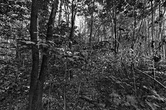 Welcome to the Jungle (Pascal Volk) Tags: berlin lichtenberg landschaftsparkherzberge berlinlichtenberg wald bäume wood forest trees bosque árboles artinbw schwarz weis black white blackandwhite schwarzweis sw bw bnw blancoynegro blanconegro wideangle weitwinkel granangular superwideangle superweitwinkel ultrawideangle ultraweitwinkel ww wa sww swa uww uwa natur nature naturaleza pflanze plant planta sommer summer verano canoneos6d canonef1635mmf4lisusm dxosilverefexpro nikcollection dxophotolab 16mm monochromemonday