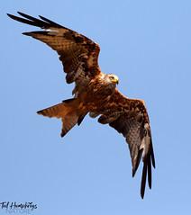 Red Kite over Upper Basildon (Ted Humphreys Nature) Tags: redkite kites raptors predators birdsofprey westberkshire tedhumphreysnature