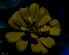 Shadow of the Yellow Pedals (that_damn_duck) Tags: nikon plant nature flower shadows petals blossom blooming stems