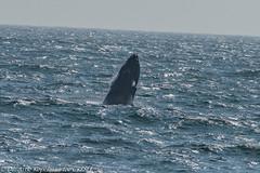 AHK_7530 (ah_kopelman) Tags: unkmncresli2018082201 2018 cresli creslivikingfleetwhalewatch megapteranovaeangliae montaukny vikingfleet vikingstarship breaching humpbackwhale juvenilehumpback whalewatch