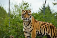 Sumatran Tiger (Panthera tigris sumatrae) (Seventh Heaven Photography) Tags: pantheratigrissumatrae tiger sumatran panthera tigris sumatrae animal mammal carnivore felidae sondaica chester zoo cheshire nikond3200