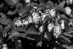 Hopfen B&W (gutlaunefotos ☮) Tags: hopfen blackwhite bier