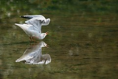 Love Yourself First (ianderry64) Tags: wildlife bird nature leicestershire park bradgate dance mating light stream river mirror reflect reflection seagull awareness self admire love me yourself you