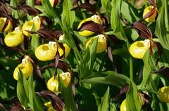 20180526-016F (m-klueber.de) Tags: 20180526016f 20180526 2018 mkbildkatalog skandinavischeflora flora nordeuropa nordisch pflanzenwelt pflanze europäische skandinavische skandinavien scandinavia schweden sweden sverige mitteleuropäische orchidee orchidaceae cypcalc cypripedium calceolus gelber frauenschuh östersund jämtland