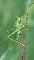 Tettigonia Viridissima - 105mm Macro (Visual Stripes) Tags: grasshopper insect invertebrate sigma105mm macro panasoniclumixg1 microfourthirds mft m43 bokeh
