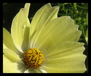 Morning Dew On Cosmos. Xanthos