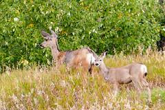 Leading the way (Bucky-D (travelling)) Tags: 2018 fz1000 colorrun panasoniclumixdmcfz1000 mitfordpark vaughn vaughnsawchukfoundation vaughnsmemorialcolorrun deer doe fawn wild