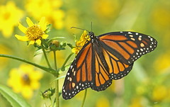 L'assiette au beurre / Butter plate (alainmaire71) Tags: bokeh jaune yellow butterfly danainae danausplexippus monarque monarch bidenscernua bidentpenché noddingbeggarticks nature quebec canada