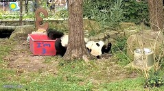 2018_08-22zz (gkoo19681) Tags: beibei chubbycubby fuzzywuzzy adorableears feetsies 3rdbirthday celebrating icecake presents squaretubby sugarcane apples nanner fullbelly sotired naptime beingadorable comfy justbecausehecan sohandsome perfection tootired sillygoober treatcoma cakecoma curledpaws bellyup passedout meltinghearts precious sohappy onapedestal toocute amazing toofunny birthdaywish legup ccncby nationalzoo