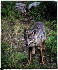(cingolina1) Tags: appennino abruzzo nature natura wolf lupo