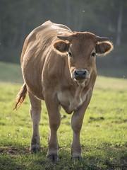 Jeune limousine (Titole) Tags: limousine vache cow titole nicolefaton backlit