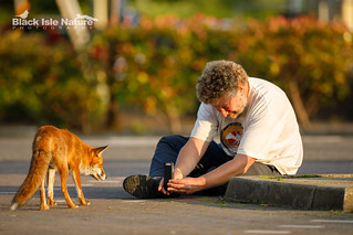 Urban fox photography.